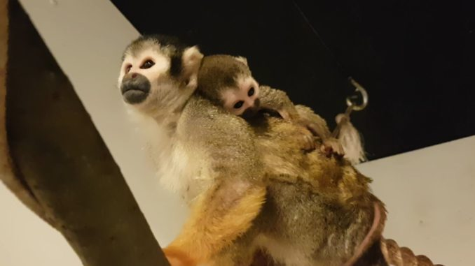Peruaans zwartkop-doodshoofdaapje geboren